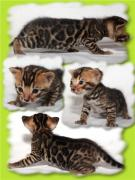 Продам бенгальских котят
